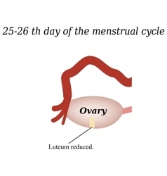 25-26 days of the menstrual cycle - reducing the vector image