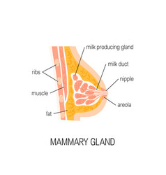 diagram of mammary gland vector image