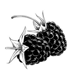 hand drawn sketch raspberry in black isolated vector image