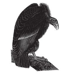 california vulture vintage vector image vector image