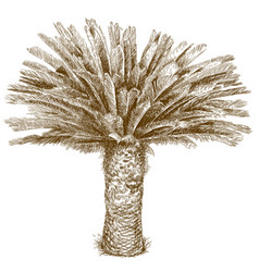 Engraving of cycas palm vector