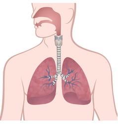 human lungs trachea and nasopharynx vector image