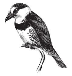 Puff bird vintage vector