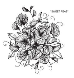 Sweet peas flower and leaf hand drawn botanical vector