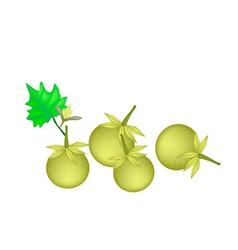 Green Solanum Stramonifolium on A White Background vector image