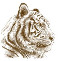 engraving of tiger head vector image