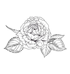 Hand drawn rose flower in contour vector