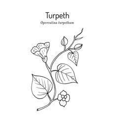 Turpeth operculina turpethum or fue vao st vector