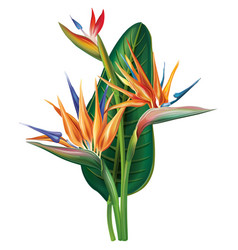 Strelitzia reginae flower on white vector