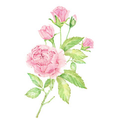 watercolor beautiful pink english rose bouquet vector image