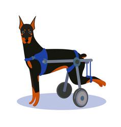 Handicapped disabled dog doberman vector