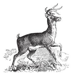 Virginia deer vintage engraving vector image vector image