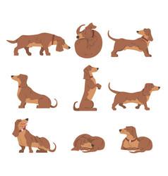 Dachshund or badger dog as short-legged and long vector