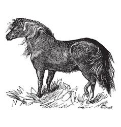 Shetland Pony vintage engraving vector