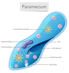 a paramecium diagram on white background vector image