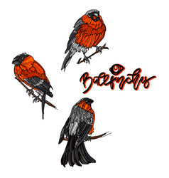 bullfinches on branches vector image