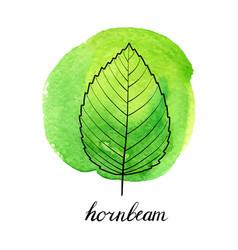 leaf of hornbeam tree vector image
