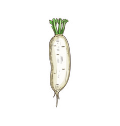 White radish isolated daikon vegetable root sketch vector