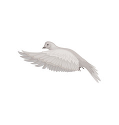 dove with gray feathers in flying action bid in vector image