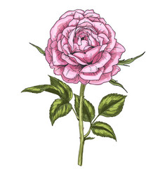 hand drawn pink rose flower isolated on white vector image