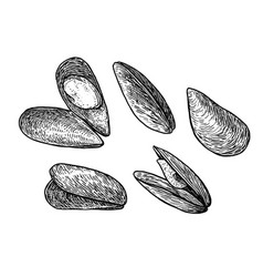 mussels drawing engraving ink lin vector image