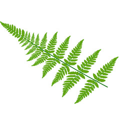 green fern leaves on white background vector image