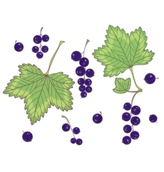 Black currants isolated vector image