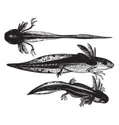 Development of young warty newts vintage vector