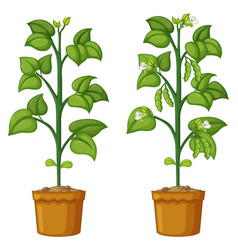 Two potted plants with beans vector