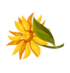 Arnica yellow or orange flower head with long ray vector