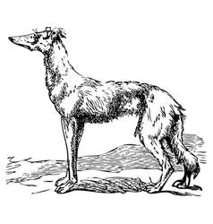 Saluki or borzoi dog engraving vector