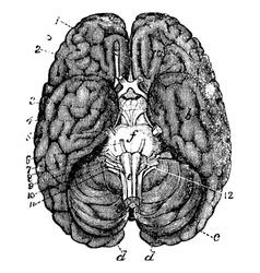 Human brain vintage engraving vector