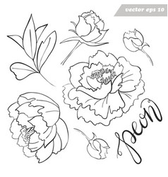 peony flowers buds leaves outlined set vector image