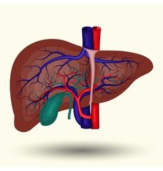 Human liver icon vector image