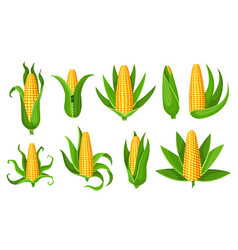 corn collection isolated ripes corn ear yellow vector image