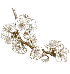Engraving of cherry blossom or sakura vector