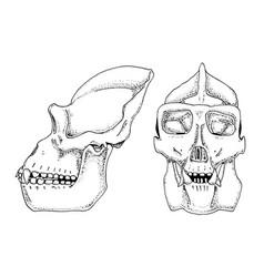 gorilla biology anatomy engraved vector image