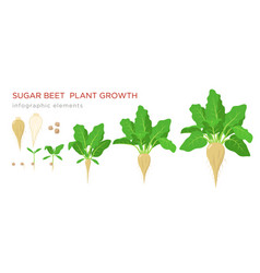 Sugar beet plant growth stages infographic vector