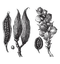 Cardamom vintage engraving vector