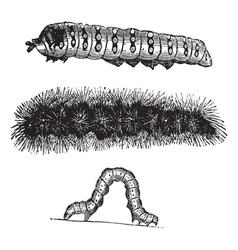 Caterpillar vintage engraving vector image vector image