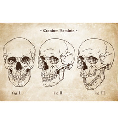human skulls set hand drawn line art vector image
