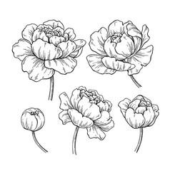 peony botanical drawing hand drawn vector image