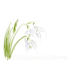 snowdrops on white background vector image
