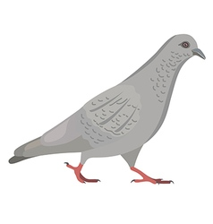 Going gray pigeon vector image