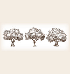 sketch set olive trees vector image