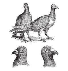 Belgian carriers pigeon vintage vector