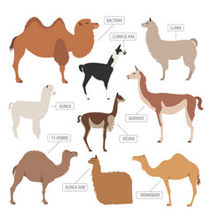 Camel llama guanaco alpaca breeds icon set animal vector