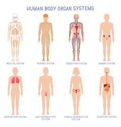 cartoon human body organs systems anatomical vector image