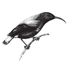 Splendid sun bird vintage vector