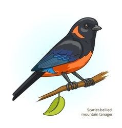 Scarlet bellied mountain tanager bird vector